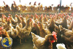 کود مرغی کشاورزی
