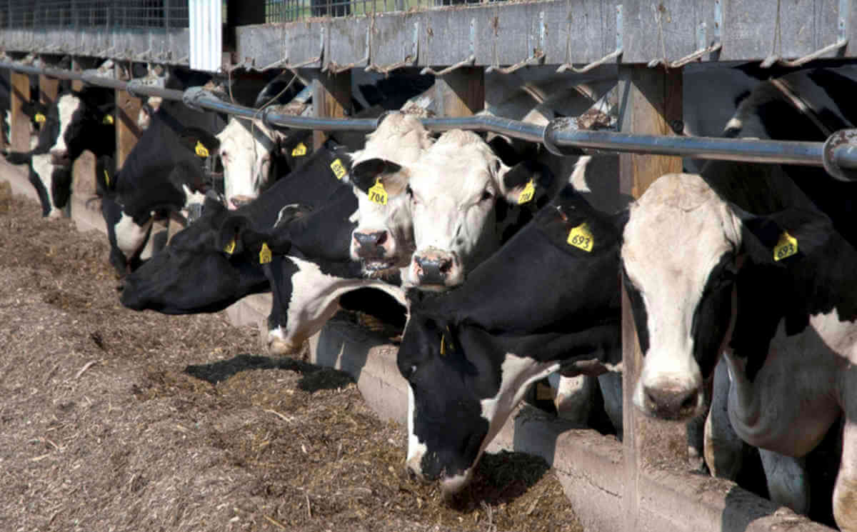 Image result for عکس در مورد گاو در حال خوردن جیوه و تاثیر بر تنش حرارتی
