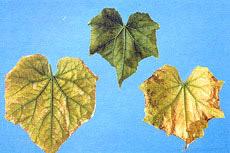 نشانه کمبود منیزیم در بوته های خیار گلخانه ای