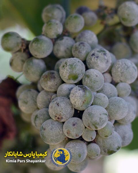 درمان سفیدک انگور
